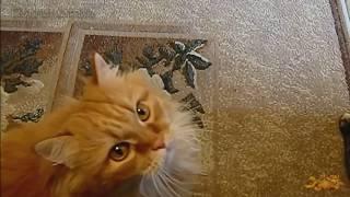 Кошачья перекличка #Прикольное видео про кошек #Приколы с кошками #Funny cats #LUCKY(Наша котовасия любит делать перекличку, особенно когда голодная! ====================================================== Вам понрави..., 2014-10-15T12:57:38.000Z)