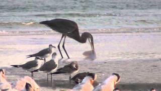 Blue Heron Tries To Eat A Stingray