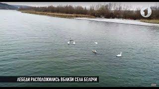 Лебеди в Рыбницком районе. Без комментариев