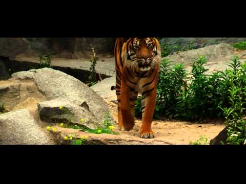 tiger stock footage (non wild)