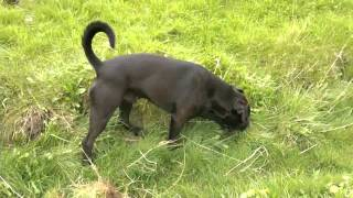 Kingston The Dog Hunting Rabbits Down A Hole Very Funny Hd.divx