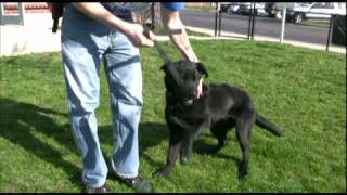 Adopted! Boscoe, Puppy In A Big Dog's Body, Available For Adoption In Indiana