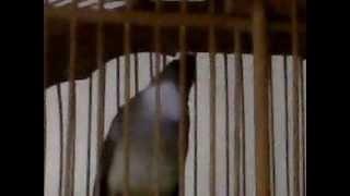 burung cicak jenggot gacor