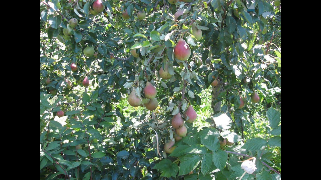 Груши Лесная красавица на суперкарликах Pears Forest beauty on superdwarfs