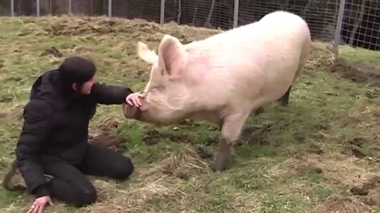 Schwein Schlachten Video