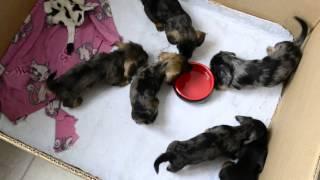 """Kaninchen Wire Dachshund's Puppies - Kennel """"iz Novo-peredelkino"""""""