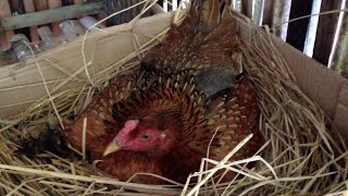 Big Hen Laying Eggs On Her Nest Of A Khmer Farmer At Countryside | Chicken Nest & Eggs In Cambodia
