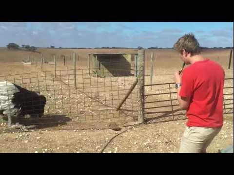 Ostrich taming (Original)