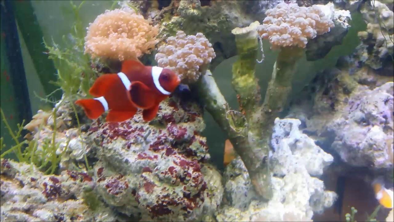 人工金透紅小丑Gold Stripe Maroon Clownfish(Captive-Bred)use3K
