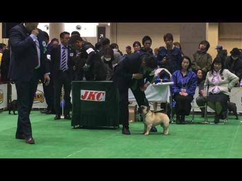 2017 Japan Int'l dog show / French bulldog champion class ♂