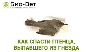 как спасти птенца, выпавшего из гнезда. Правила спасения птенцов