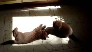 Шоколадные Британские котята.MPG