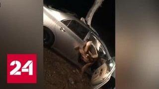 Смотреть видео Верблюд против автомобиля: необычная авария произошла в Индии - Россия 24 онлайн