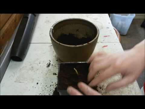 Potting Up A Palm Seedling - Jubaea Chilensis