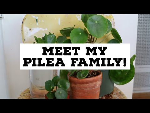 MEET MY PILEA FAMILY | Pilea Peperomioides Collection