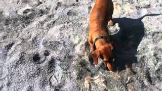 Ammo The Dachshund Playing With Pony Hair