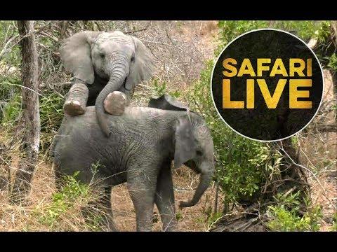 safariLIVE - Sunset Safari - August 8, 2018