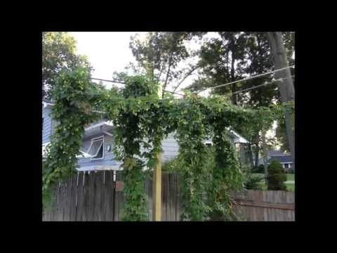 Hops & drying oast