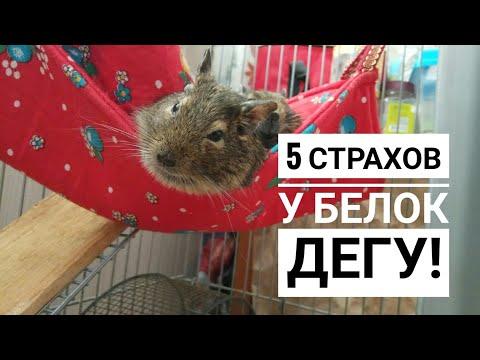 5 страхов у белок Дегу// Как уберечь белок Дегу от стресса?