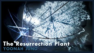 The Resurrection Plant 부활초 | Video Art Installation by YoonAh Jung