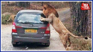 Special Report: Close Shave For Tourists As Lions Attack Vehicle On Karnataka Bio-Park
