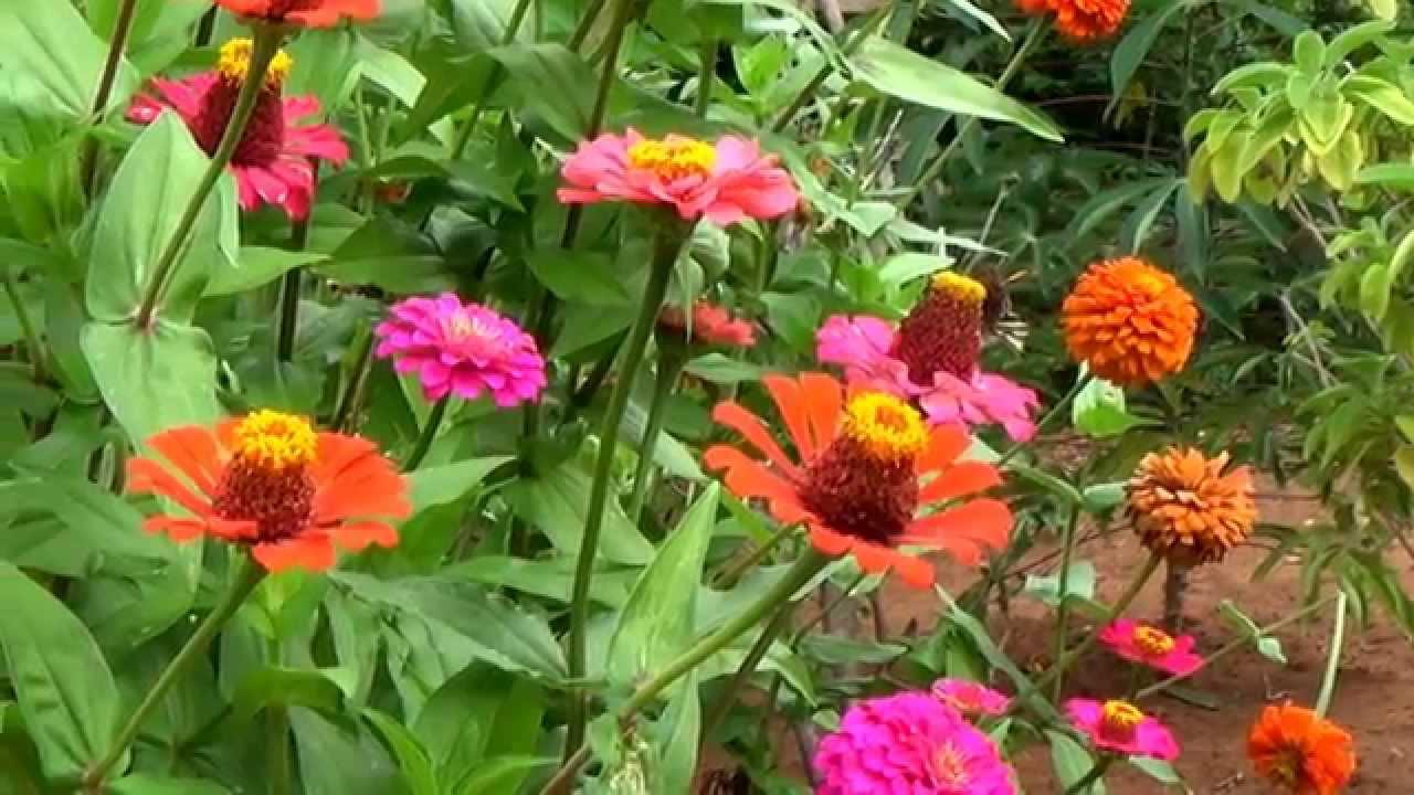 Zinnia elegans flor de capit o jardinagem plantas for Plantas decorativas hidroponicas