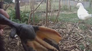 Vet-Approved Bumblefoot Treatment WITHOUT Surgery: Ducks / Chickens