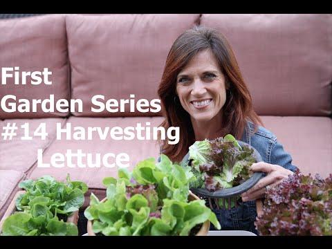 First Garden Series #14 - Harvesting Lettuce and First Garden Salad!