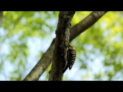 三味線で踊るコゲラ  Japanese Pygmy Woodpecker dance like NINJA on shamisen