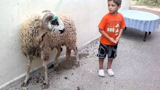 le mouton.mp4