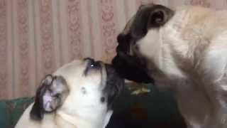 Мопсы - Сестры - лесбиянки)) Целуются, милуются!)