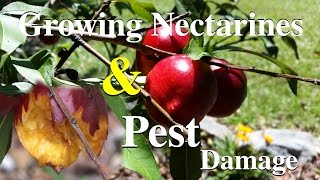 Nectarine Growing & Fruit Damage By Pests