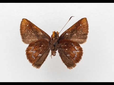 Wahydra graslieae, a new species of butterfly named for Emily Graslie!