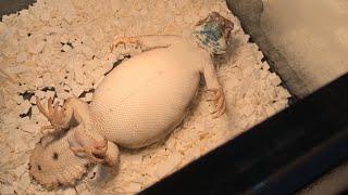 파충류쇼장에서 만난 도마뱀 상태가