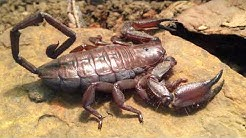 How to care for a African Flat Rock Scorpion