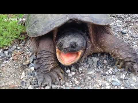LiveLeak com Snapping turtle bites man's hand 2 - YouTube