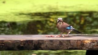 Eurasian Jay Bird At The Table