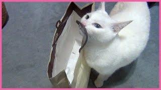 紙袋に隠れているカリカリのおやつを見つけて、美味しそうに食べる白猫...