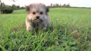 Dachshund/shi-pom Puppies | Merry-betsie-ace