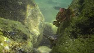 Морская собачка сфинкс: танцы с бубнами