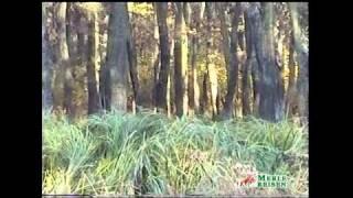 Fallow deer hunting, Damhirschjagd Rumaenien