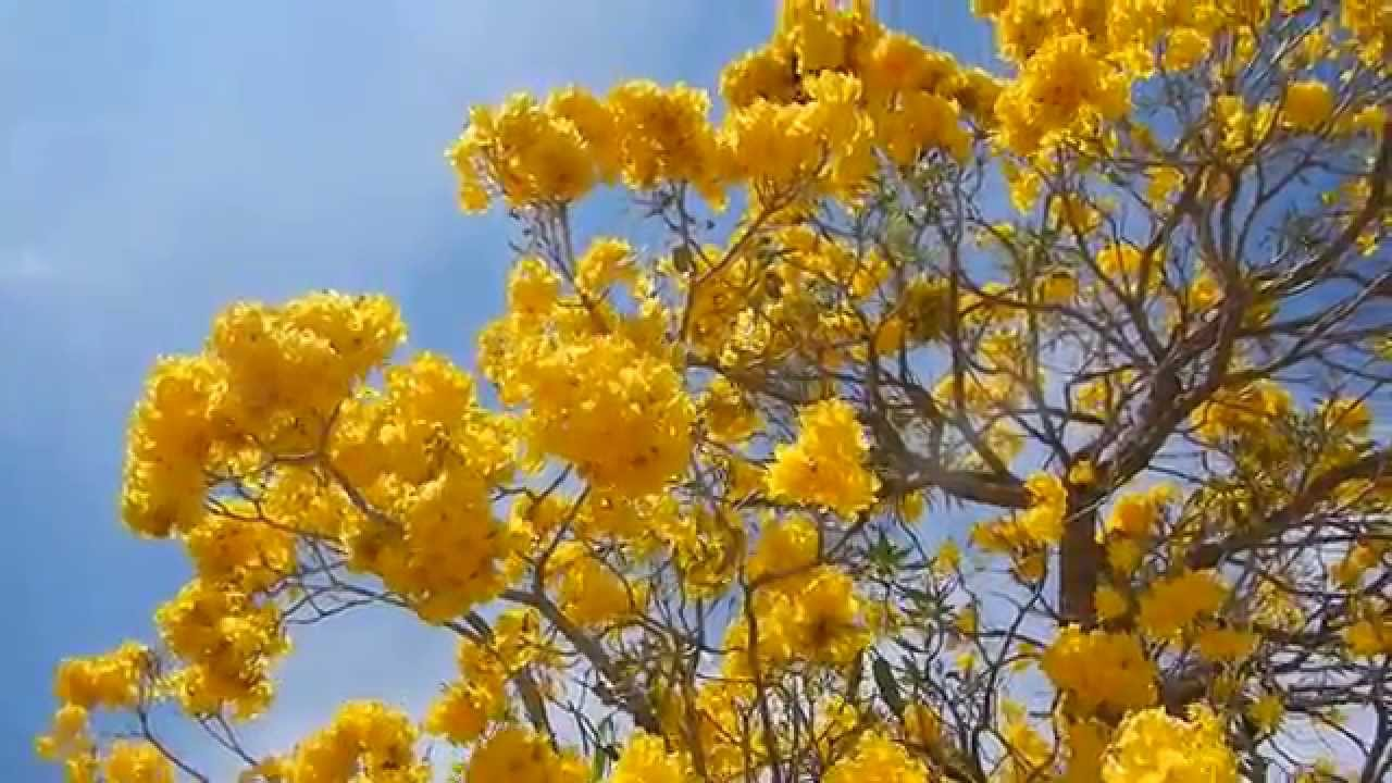 Tabebuia tree blooming yellow flowers lake worth fl youtube mightylinksfo Image collections