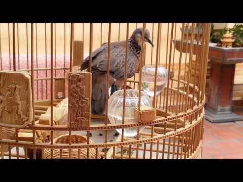 Chim cu gáy giọng thổ