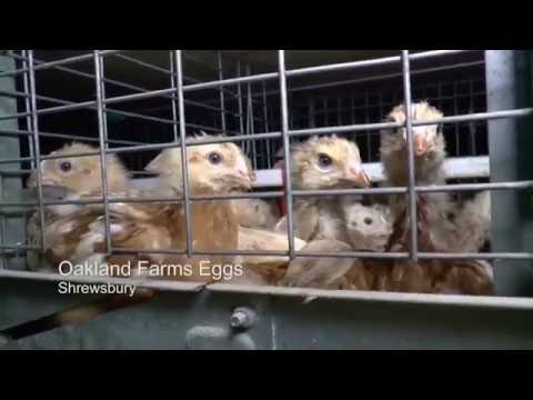 CRACKED: An exposé of the UK egg industry