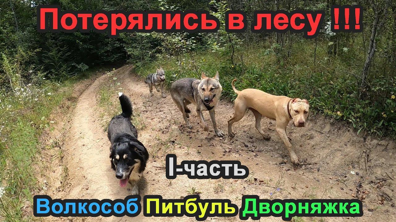 ПРОГУЛКА В ЛЕС ОБЕРНУЛАСЬ ПОТЕРЕЙ СОБАК. Волкособ/Питбуль/Дворняжка.