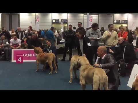 World Dog Show Leipzig 2017  FILA BRASILEIRO  JUNIOR CLASS