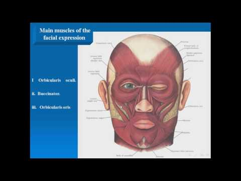 06  Main muscles of the facial expression