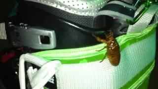 闇練終了して帰ろうと思ったら、ブーツに蝉の幼虫がよじ登っているとこ...