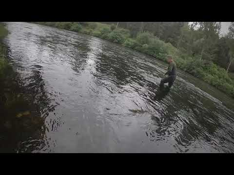 Salmon Fishing On The River Teith, Bonus Sea Trout Catch