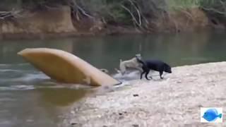 this dog help save others dog life-  यह कुत्ता दूसरों को कुत्ते के जीवन को बचाने में मदद करता है